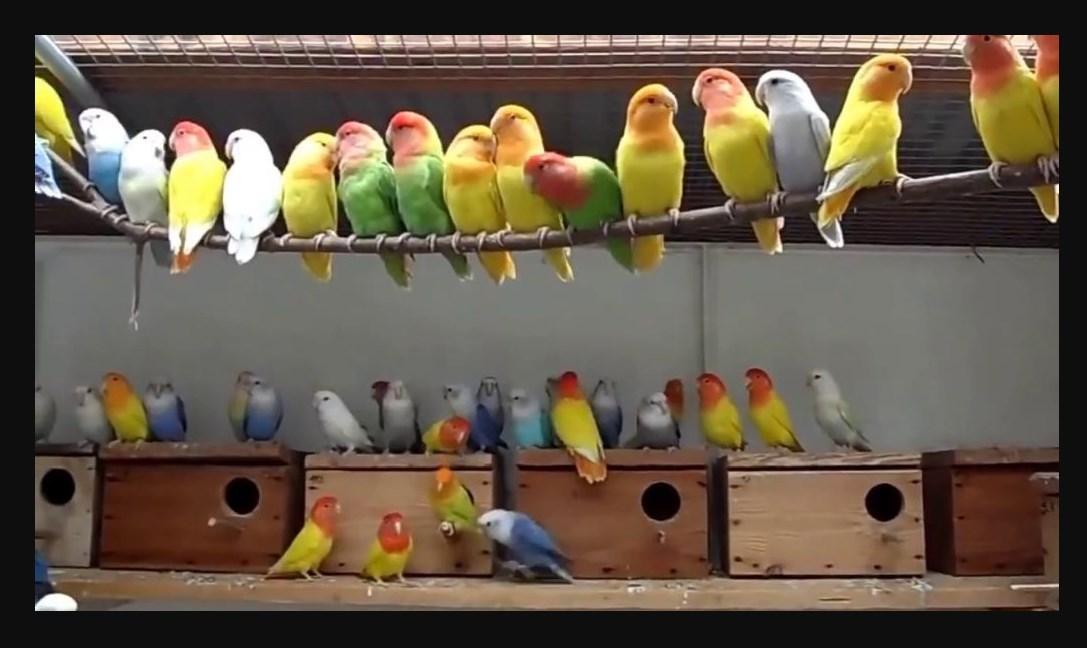 Kandang Lovebird Untuk Ternak Sistem Koloni
