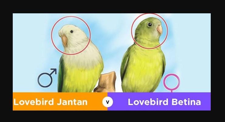 Perbedaan Burung Lovebird Jantan Dan Betina