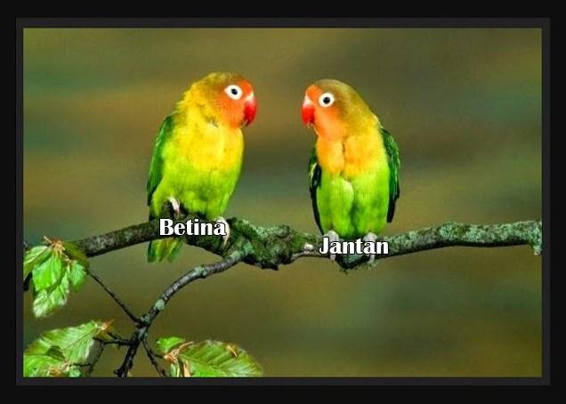 Perbedaan Ciri ciri Burung Lovebird Jantan dan Betina