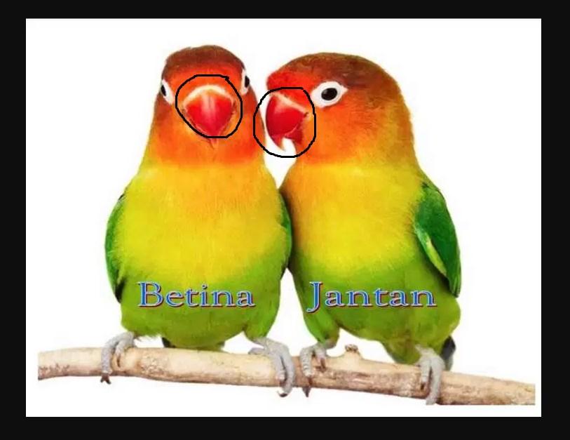 Perbedaan Paruh Burung Lovebird Jantan dan Betina