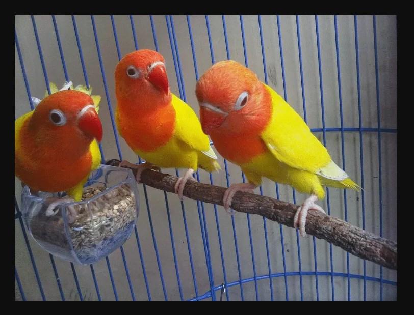 Ciri ciri Burung Lovebird Paskun