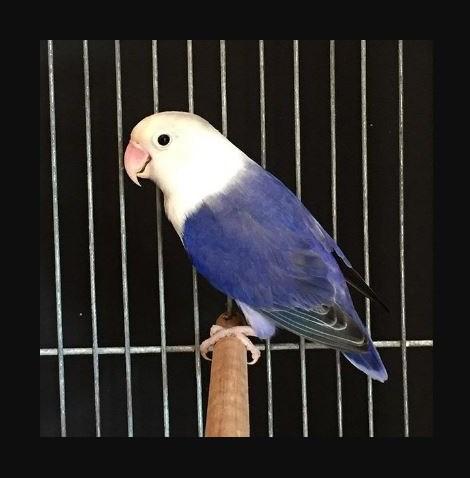 Ciri ciri Lovebird Violet Kepala Elang beserta fotonya