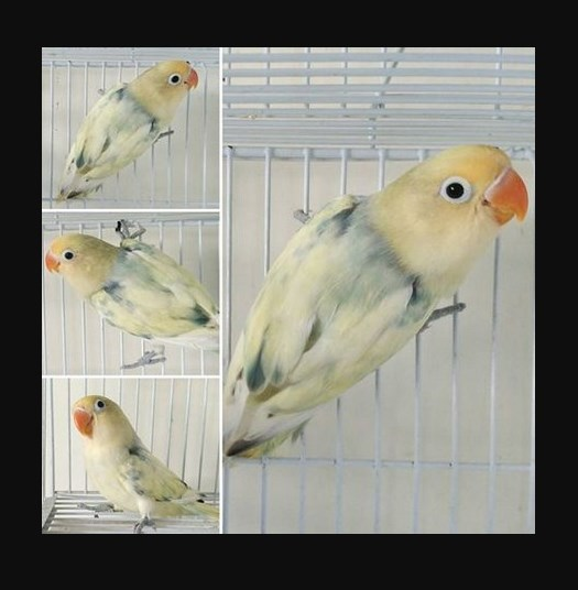 Foto Burung Lovebird Parblue Blorok