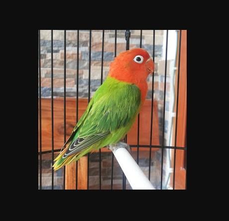 Foto Ciri ciri Burung Lovebird Biola Green