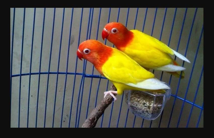 Foto Jenis Burung Lovebird Pastel Kuning