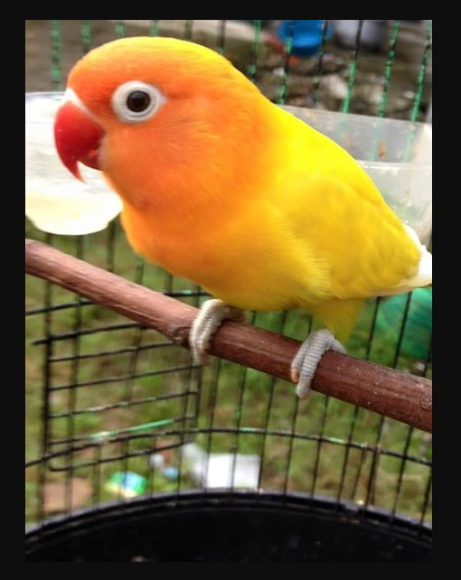 Foto Jenis Lovebird Pastel Kuning Bersih