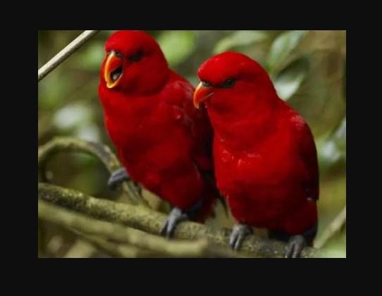 Gambar Jenis Burung Lovebird Termahal Lovebird Merah