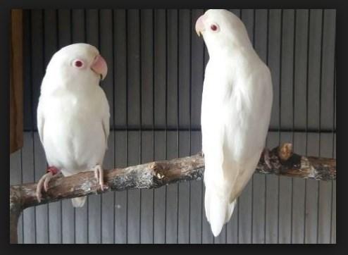 Gambar ciri ciri lovebird albino mata merah