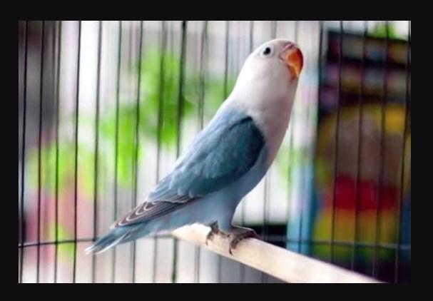 Lovebird Violet Kepala Elang