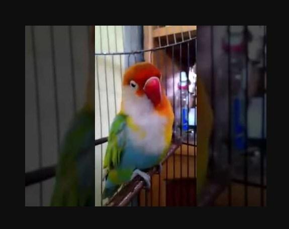 Lovebird dengan warna unik halfsider