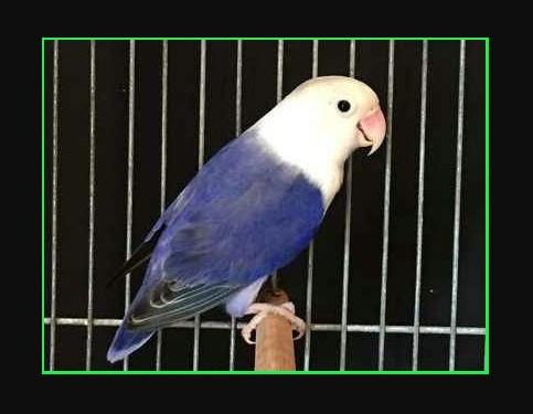 Tips cara mencetak lovebird violet kepala elang yang ampuh