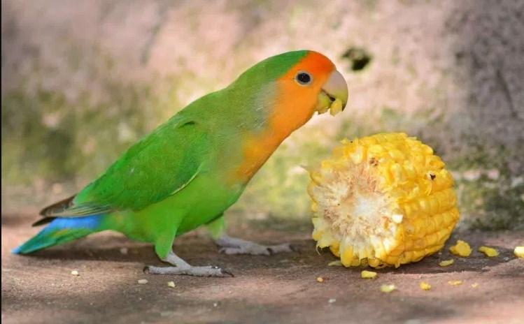 Warna Lovebird Muka Salem