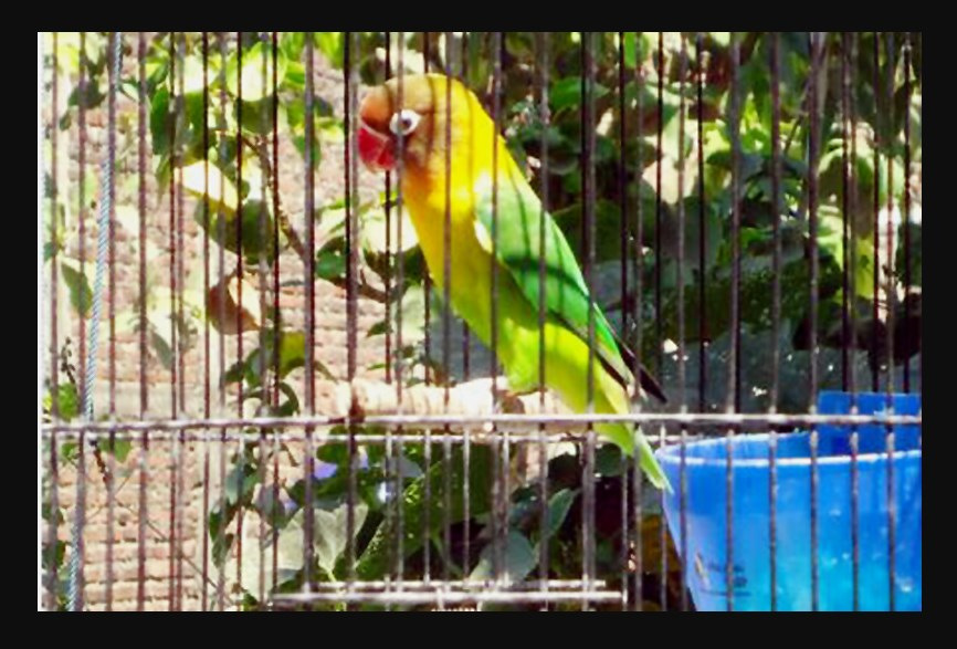 Cara Menjemur Burung Lovebird Untuk Menurunkan Over Birahi