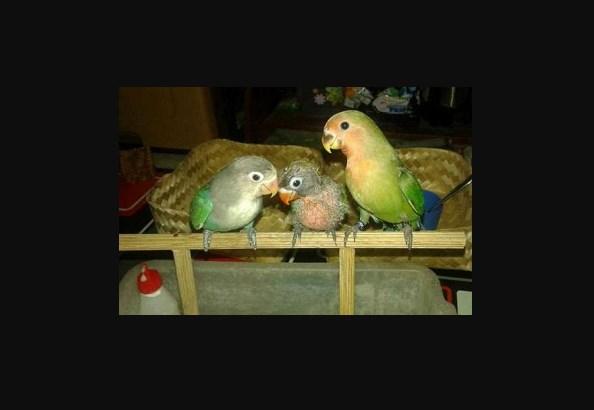 Cara Merawat Burung Lovebird yang masih usia 2 bulanan