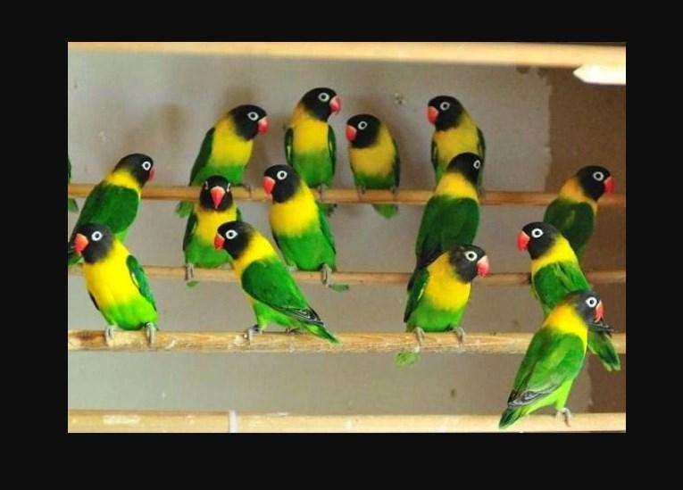 Harga Burung Lovebird Anakan Dakocan Terbaru