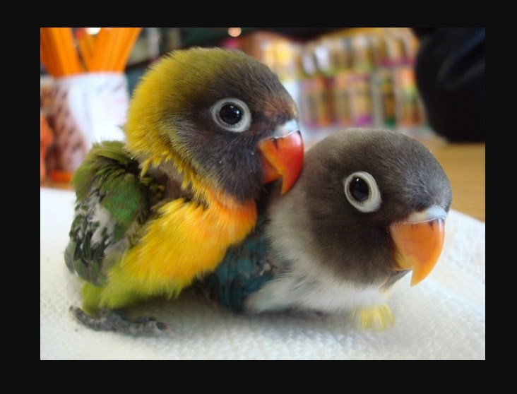 Harga Burung Lovebird Anakan
