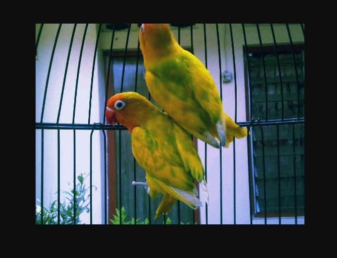 Jenis warna Burung Lovebird Blorok Hijau