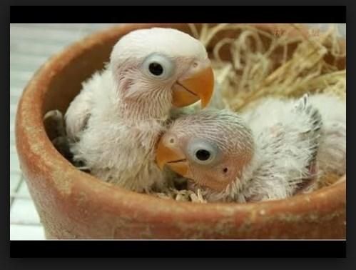 Anakan Lovebird Bisa Makan Sendiri Umur Berapa