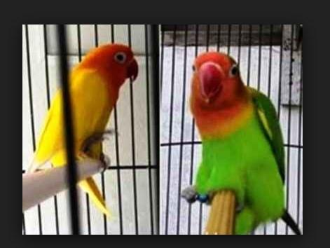 Cara Mengatasi Lovebird Gesek Tangkringan
