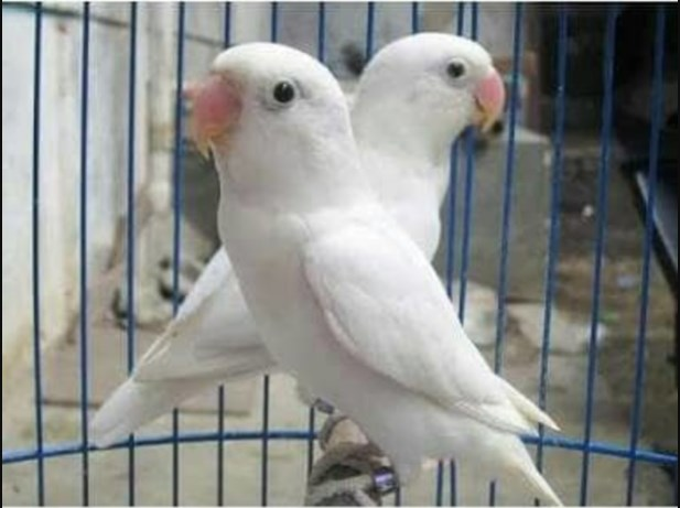 Ciri ciri Burung Lovebird Albino mata hitam