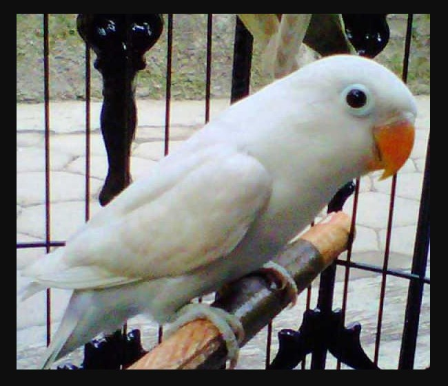 Ciri ciri Lovebird Pastel putih mata hitam