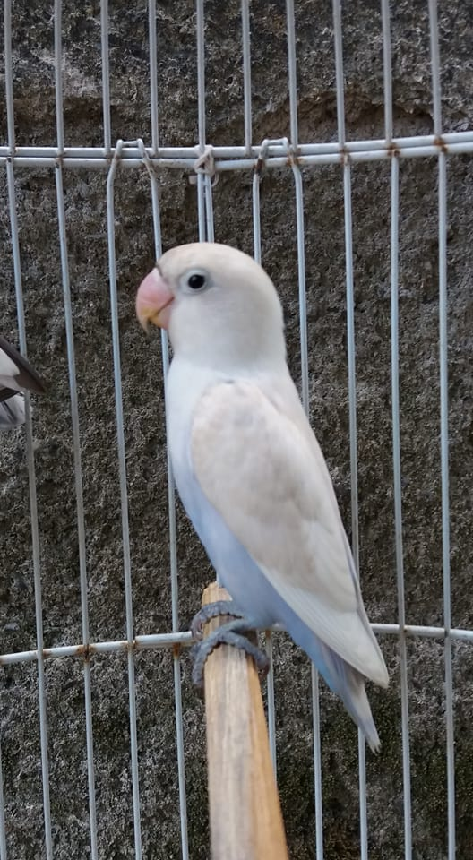 Ciri ciri Lovebird Pastel putih