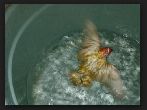 Manfaat Terapi Renang Untuk Melatih Nafas Burung Lovebird