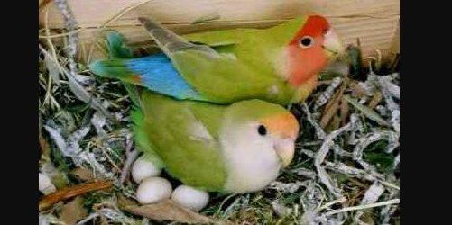 Pakan Burung Saat Bertelur dan mengerami