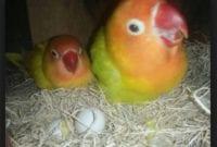 Sampai Umur Berapa Lovebird bisa produksi bertelur