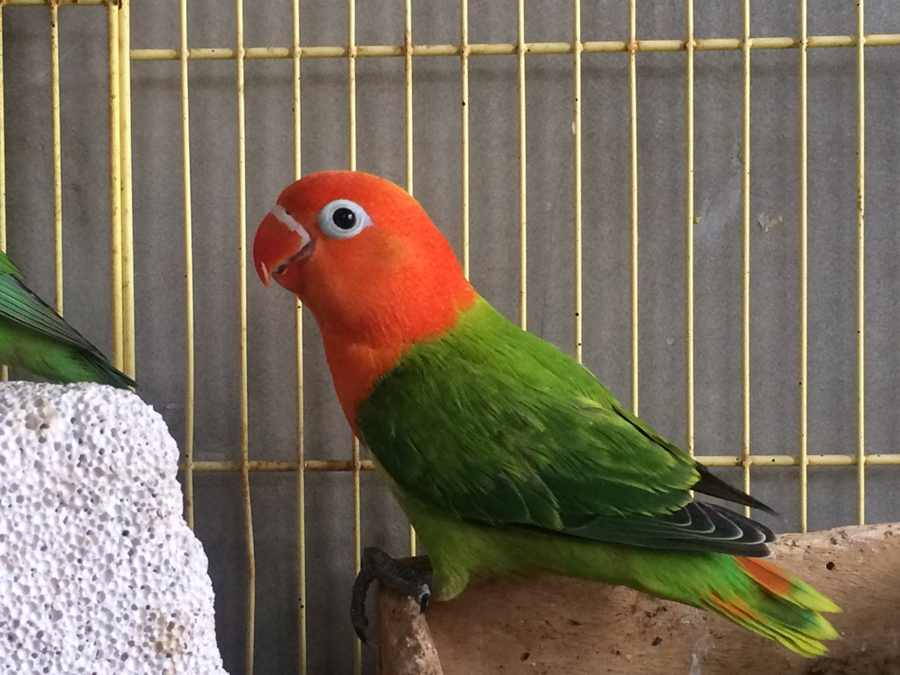 Foto Burung Lovebird Biola Betina