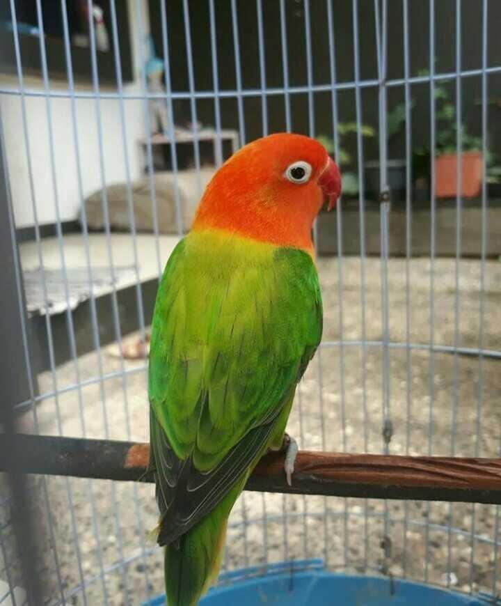 Foto Burung Lovebird Biola jantan