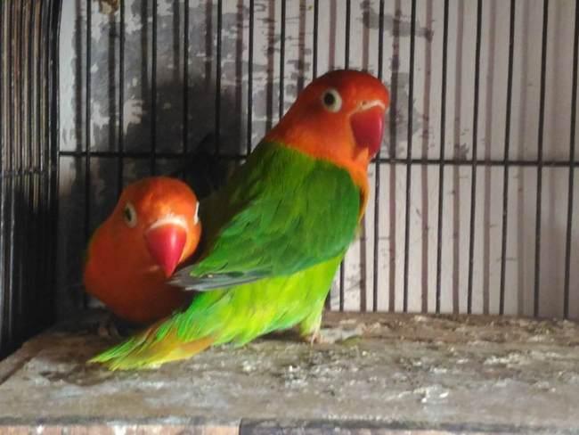 Foto Burung Lovebird Biola yang harganya mahal