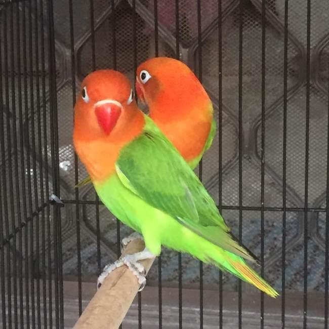 Foto Burung Lovebird Biola