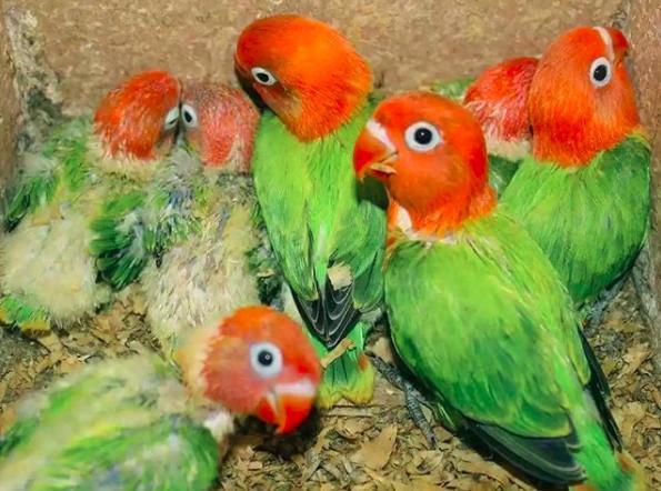 Gambar Anakan Lovebird Biola