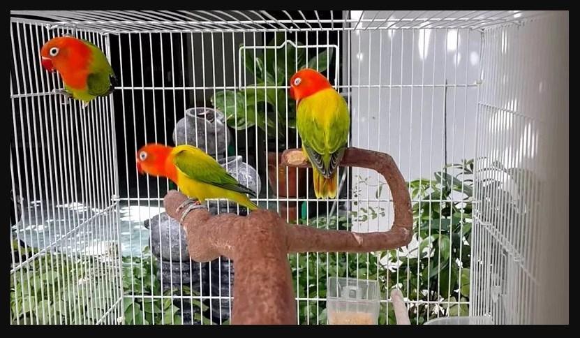 Macam Macam Jenis Burung Lovebird Termahal Paling Bagus 2018 Lovebird Biola Euwing