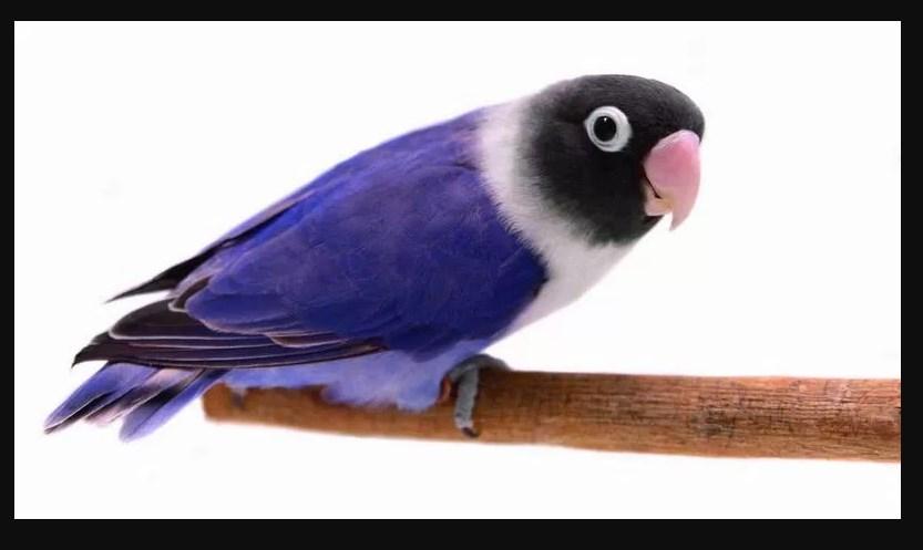 Macam Macam Jenis Burung Lovebird Termahal Paling Bagus 2018 Lovebird Violet