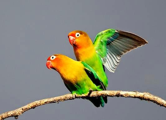 Cara Ternak Burung Lovebird Dengan Model Poligami Untuk Pemula